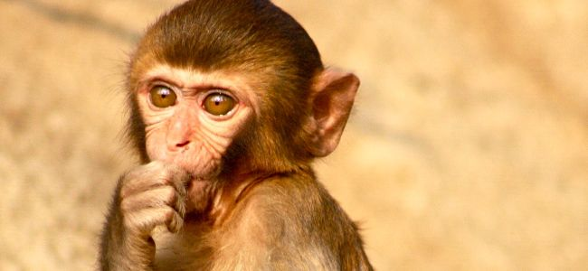 monkey in study